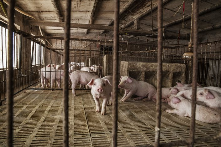 Piglets are kept in pens at a pig farm in Langfang, Hebei province, in 2019. Photoo: Bloomberg
