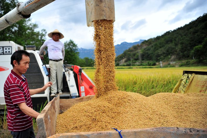 Farmers harvest rice in Yichang, Hubei province, Sept. 10. Photo: IC Photo