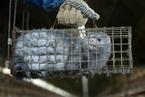美国万只水貂染新冠死亡  未发现水貂传人病例