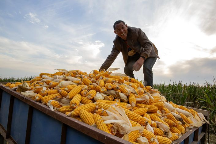 A villager harvests corn in Ningjin county, North China's Hebei province, on Oct. 2.