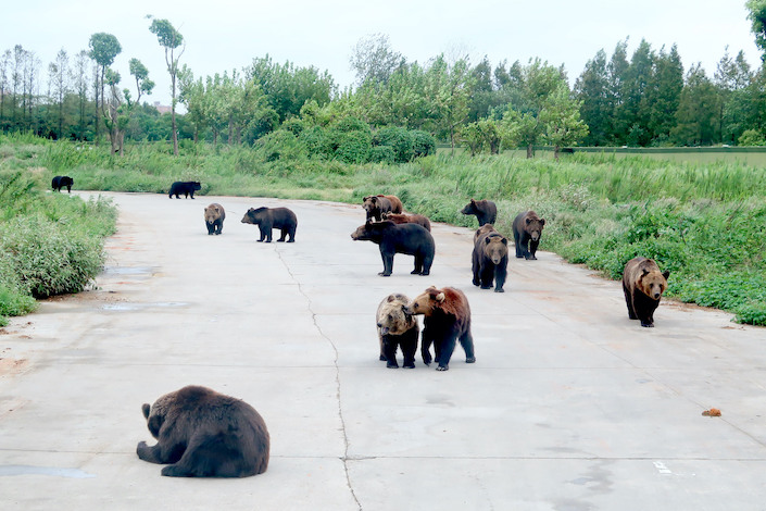 Black bears roam in the Shanghai Wild Animal Park.