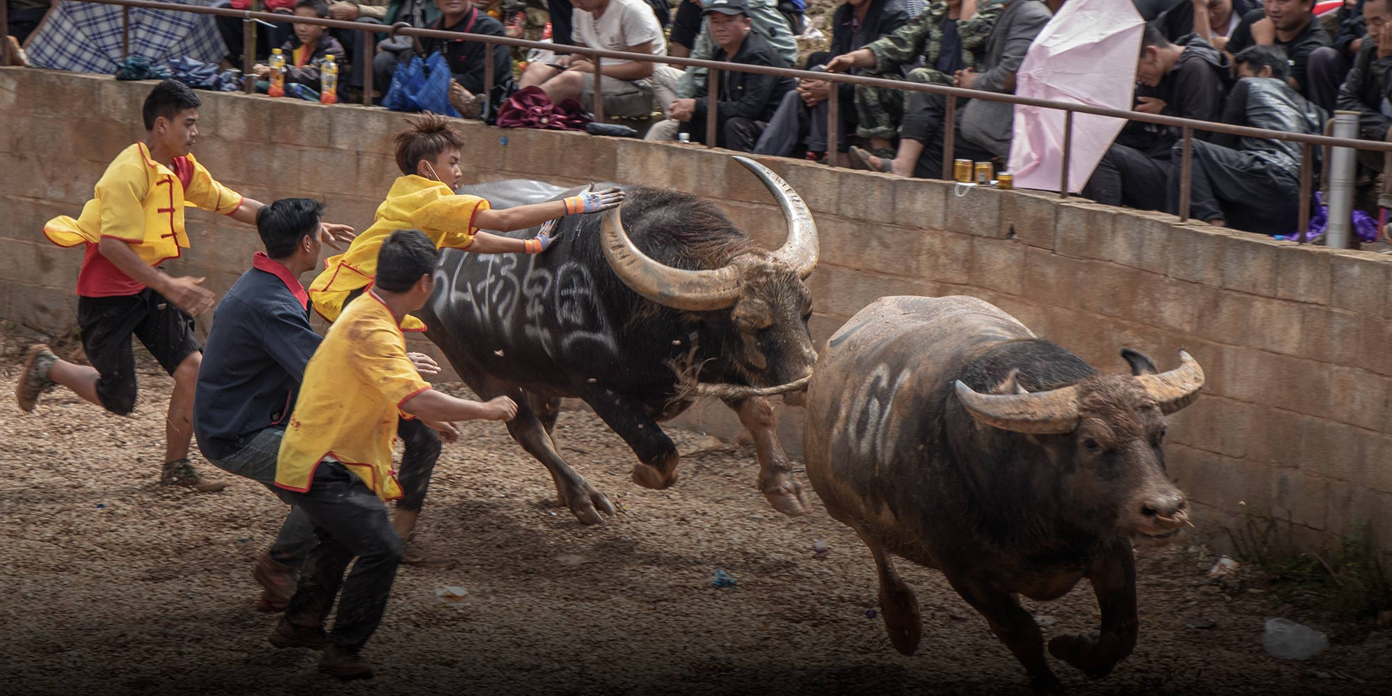 Handlers attempt to stop a bull as he charges down his defeated opponent at a bullring in Shilin Yi autonomous county, Yunnan province, October 2020. Photo: Kenrick Davis/Sixth Tone