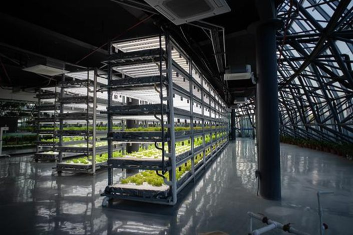 At a hydroponic plant factory in Donghai, the light, water, and nutrients needed for growth are all artificially controlled.