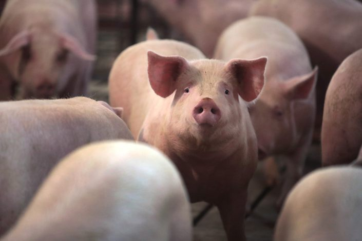 In 2019, pork production in China reached 42.6 million tons and per capita consumption was 20.3 kilograms.
