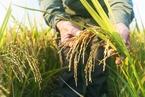 研究:水稻马铃薯引入动物肥胖基因可增产约50%