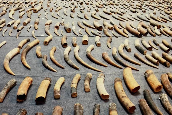 Ivory seized by the police. Photo: Guangzhou Intermediate People's Court