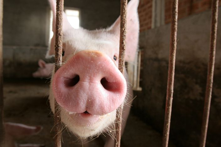Chinese hog breeders have expanded their live hog supplies to boost sales ahead of the Lunar New Year holiday.