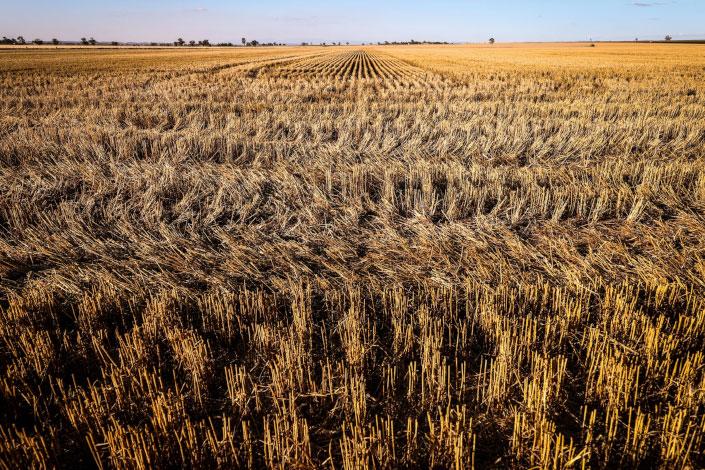 A field of harvested wheat at a farm near Gunnedah, New South Wales, Australia, on Nov. 10, 2020. Photo: Bloomberg