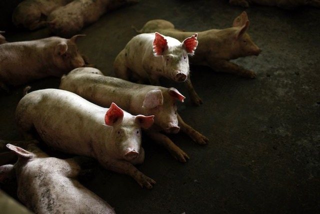 Pigs gather in a pen at a farm in Jiaxing