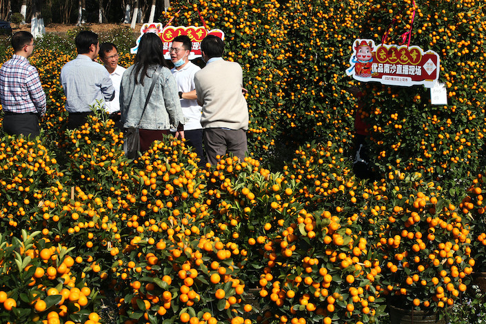 Kumquat growers in Guangzhou offer plants online through livestreaming.