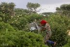 新一代蝗群威胁非洲之角 索马里265万人将陷严重饥饿