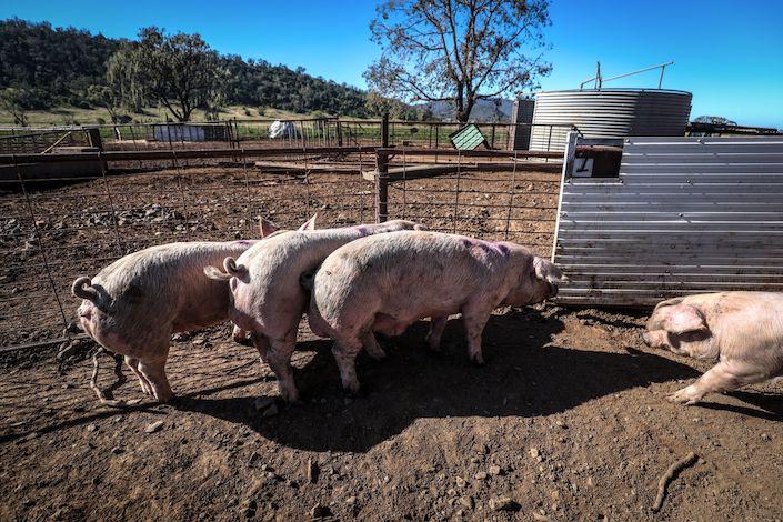 Pigs stand in a yard at a free range pig farm near Gunnedah