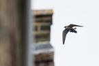 中科院研究:全球变暖预计将威胁游隼迁徙
