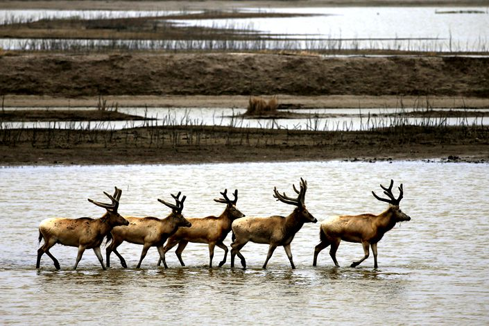 Animals cross a stream on Sunday at the Yellow Sea Wetland Park in the Dafeng Elk National Nature Reserve in Yancheng, East China's Jiangsu province. Photo: VCG