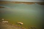 内蒙古黄河大堤内现死猪 当地政府表示正调查