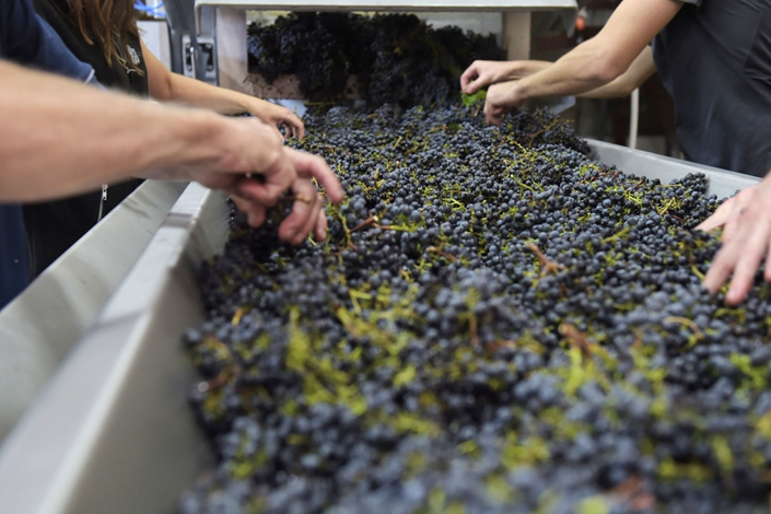 Workers sort Hill of Grace Shiraz grapes at the Henschke Cellars Pty Cellar Door and Winery in Eden Valley, South Australia, Australia, on April 3, 2018. Photo: Bloomberg