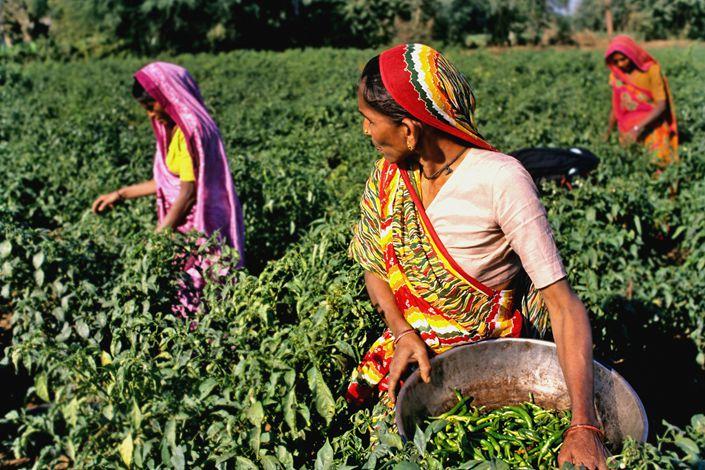 Women work a field in India. Photo: VCG