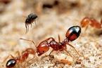 咬人咬动物危害农林作物 红火蚁已入侵国内12省