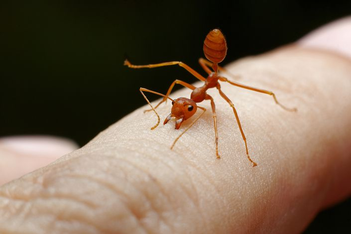 Red imported fire ants have footholds in many parts of the world, including Australia and the U.S. The latter spends over $5 billion a year on control programs, according to its agriculture department. Photo: IC Photo
