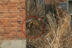黑龙江伤人虎已被麻醉装车  中国野生东北虎仅剩27只