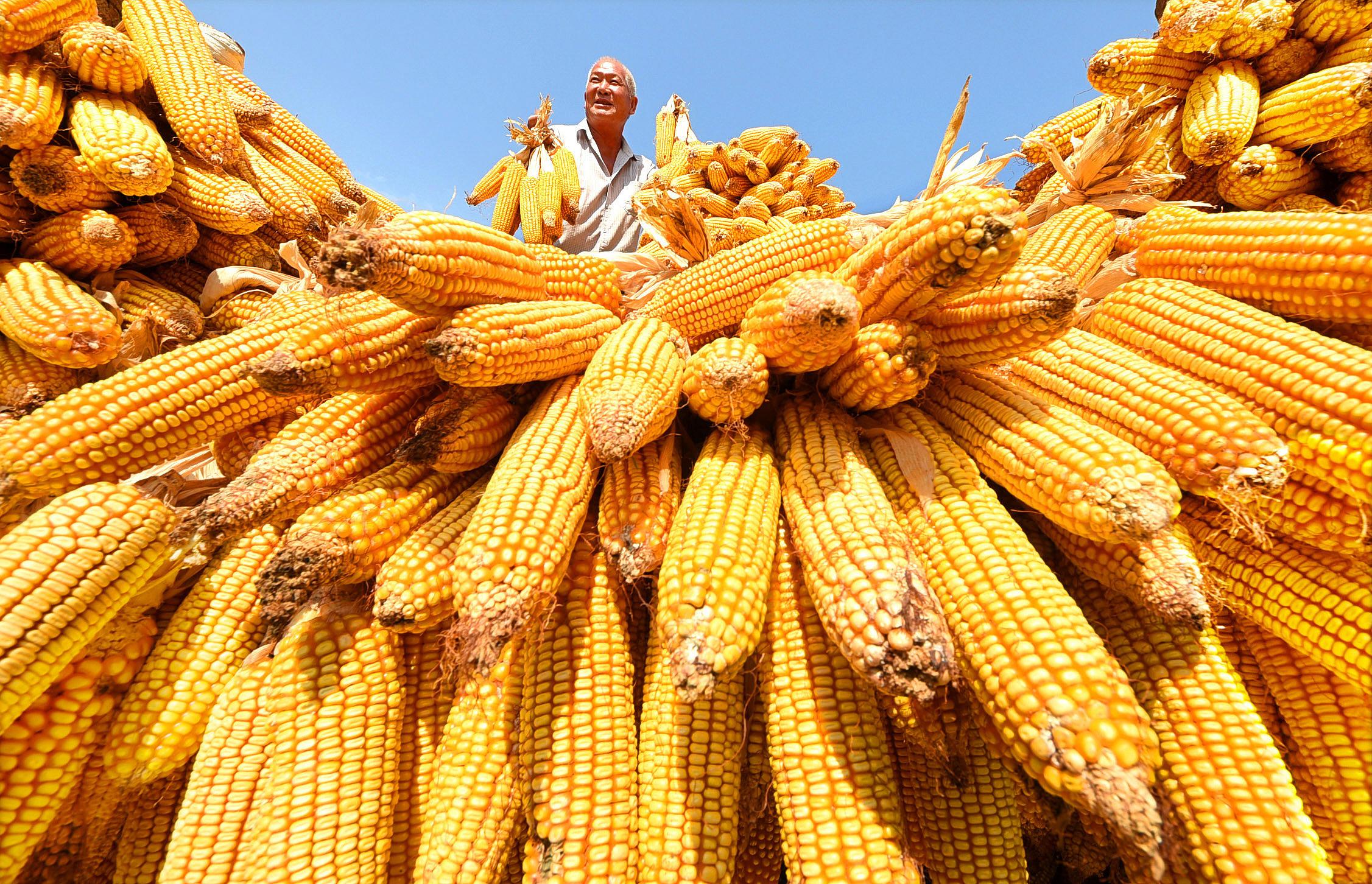 Farmers harvest corn in Zibo, Shandong province, on Sept. 7, 2018. Photo: VCG