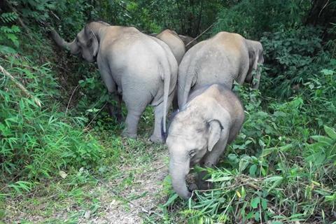 另一亚洲象群闯入中科院热带植物园 已滞留11天