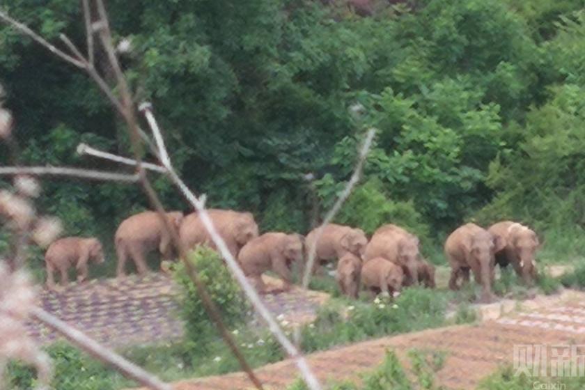 昆明附近象群折向西南 村民回忆上山寻象