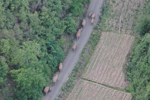 象群西行至昆明玉溪交界 一头公象离群十二公里