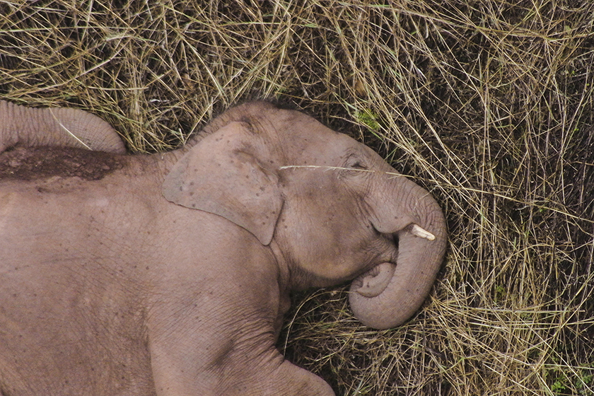 Gallery: Migrating Wild Elephant Herd Takes a Break - Caixin Global
