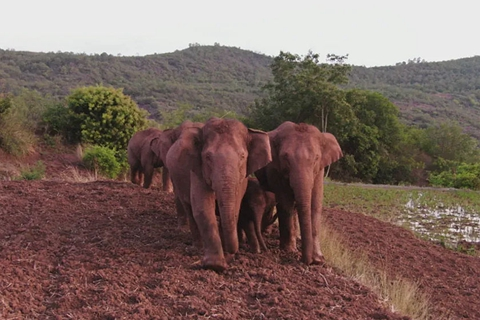 专家:象群外迁背后,人类干扰不可忽视