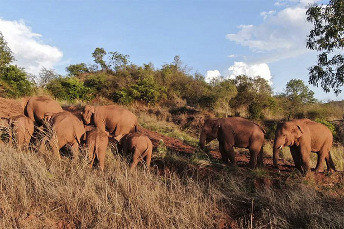 A herd of wild Asian elephants wanders in the grassland on June 7 in the rural part of Kunming, Southwest China's Yunnan province. Photo: Yunnan Forest Fire Brigade