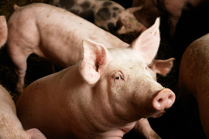 The new outbreaks have resulted in another round of losses for hog farmers. Photo: VCG