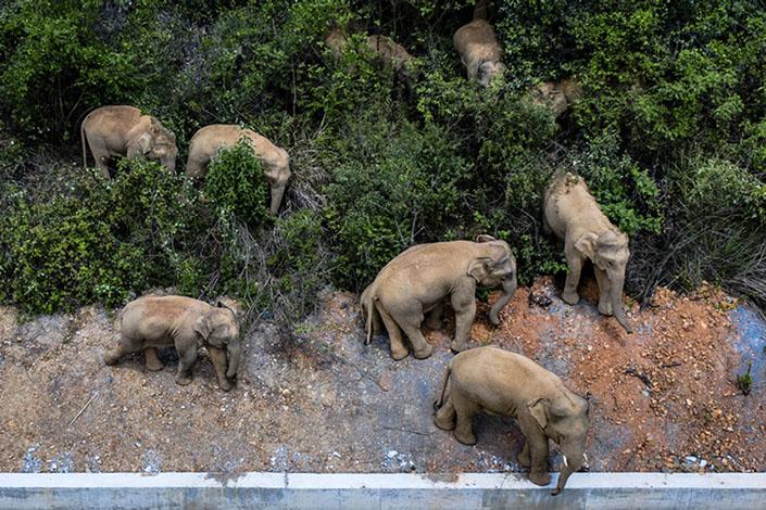 The elephant herd wanders in a woodland in Eshan county, Yuxi, on May 31. Photo: Xinhua
