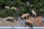 In Depth: Wild Elephant Trek Traced to Shrinking Habitat, Experts Say