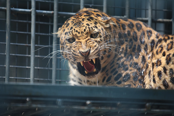 Three months ago, three leopards escaped because two keepers at a Hangzhou safari park violated safety regulations while cleaning cages. Photo: VCG