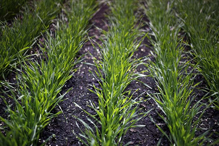 Syngenta's genetically modified wheat is displayed in February 2020 at the National Farm Machinery Show in Louisville in the U.S. Photo: Bloomberg