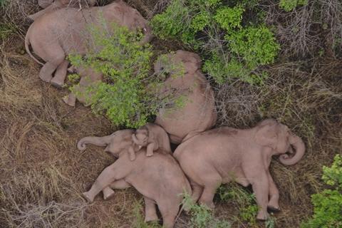 云南出走亚洲象群连过三江 回到传统栖息地